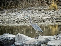 Breiter Schuss des Graureihers im Arkansas River Lizenzfreie Stockbilder