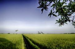 Breites Ansichtgrünreisfeld mit blauem Himmel, Wasserkanal und sonnigem Tag Lizenzfreies Stockfoto