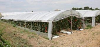Breites Gewächshaus für die Bearbeitung von roten Tomaten im Sommer Lizenzfreies Stockbild