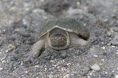 Brekende schildpad Royalty-vrije Stock Foto