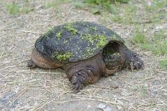 Brekende schildpad Stock Afbeeldingen