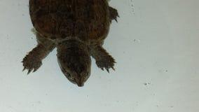Brekende Schildpad Stock Foto