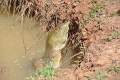 Brekende Schildpad Stock Fotografie