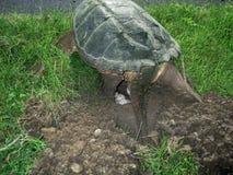Brekende schildpad, chelydras. serpentina, die eieren leggen Stock Fotografie