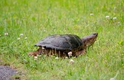 Brekende schildpad die een weg kruisen royalty-vrije stock afbeeldingen