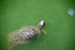 Brekende schildpad die en hoofd omhoog over de oppervlakte zwemmen royalty-vrije stock fotografie