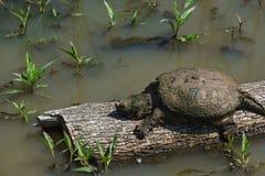 Brekende schildpad op een login gebied van het moerasland Royalty-vrije Stock Afbeelding