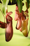 Breloczka miotacza roślina w ogródzie Fotografia Royalty Free