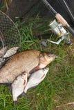 Brema común de agua dulce grande y pescado blanco del brema o de plata de la brema con la caña de pescar con el carrete en fondo  imagen de archivo libre de regalías
