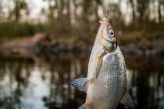 brema de los pescados en el gancho Imagen de archivo