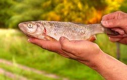 Brema de los pescados en la naturaleza de las manos de los pescadores fotos de archivo libres de regalías
