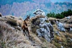 brembana羚羊意大利orobie公园rupicapra瓦尔 免版税库存图片