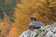 brembana羚羊意大利orobie公园rupicapra瓦尔 库存图片