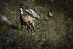 brembana羚羊意大利orobie公园rupicapra瓦尔 图库摄影