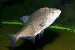 Breme (Abramis brama). In Aquarium Royalty Free Stock Image
