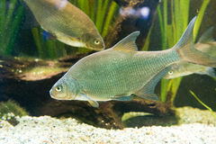 Breme - Abramis brama. Freshwater fish Breme - Abramis brama Royalty Free Stock Photos