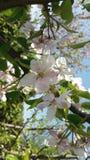 Brench da flor de cerejeira Imagem de Stock Royalty Free