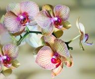 Brench de la orquídea Fotografía de archivo