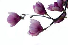 Brench de magnolia d'isolement images libres de droits