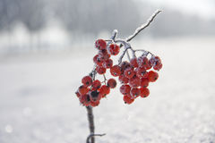 Brench of rowan. Branch of rowan in the snow near the road Royalty Free Stock Image