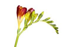 Brench van bloem Royalty-vrije Stock Afbeelding