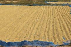 Breng rijst aan de zon Royalty-vrije Stock Foto's
