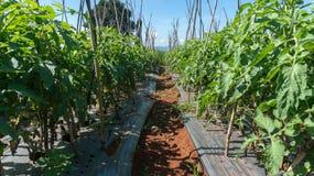 10, brengen, 2016 DALAT - Rij van Tomaat in Dalat- Lamdong, Vietnam in de war Stock Afbeeldingen