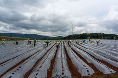 10, brengen in de war, 2016 DALAT - de landbouwer die Tomaat in Dalat- Lamdong, Vietnam planten Stock Fotografie