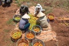 10, brengen in de war, 2016 DALAT - Landbouwers die Tomaat in Dalat- Lamdong, Vietnam oogsten Stock Foto
