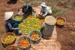 10, brengen in de war, 2016 DALAT - Landbouwers die Tomaat in Dalat- Lamdong, Vietnam oogsten Royalty-vrije Stock Foto