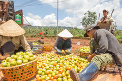 10, brengen in de war, 2016 DALAT - Landbouwers die Tomaat in Dalat- Lamdong, Vietnam oogsten Royalty-vrije Stock Fotografie