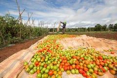 10, brengen in de war, 2016 DALAT - Landbouwers die Tomaat in Dalat- Lamdong, Vietnam oogsten Royalty-vrije Stock Afbeelding