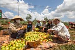 10, brengen in de war, 2016 DALAT - Landbouwers die Tomaat in Dalat- Lamdong, Vietnam oogsten Royalty-vrije Stock Foto's