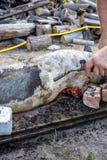 Brennen eines Hausschweins vor dem Schnitt Abbau des Schweinhaares Lizenzfreie Stockfotos