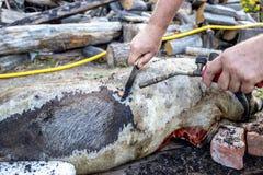 Brennen eines Hausschweins vor dem Schnitt Abbau des Schweinhaares Stockbild