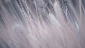 Brennen flaumige Grasblume des Poaceae durch Windunschärfe-Hintergrundübergang mit variablem Fokus durch stock video
