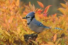Brennender blauer Jay Stockbilder