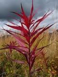 Brennender Fireweed Stockbild
