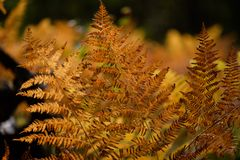 brennender roter Farn verlässt im trockenen sonnigen Herbst Lizenzfreie Stockbilder