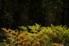 brennender roter Farn verlässt im trockenen sonnigen Herbst Stockfoto