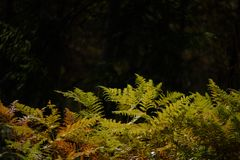 brennender roter Farn verlässt im trockenen sonnigen Herbst Lizenzfreies Stockbild