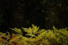 brennender roter Farn verlässt im trockenen sonnigen Herbst Lizenzfreie Stockfotos