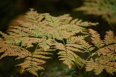 brennender roter Farn verlässt im trockenen sonnigen Herbst Stockfotografie