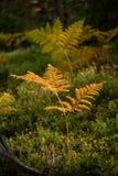 brennender roter Farn verlässt im trockenen sonnigen Herbst Lizenzfreie Stockfotografie