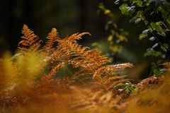 brennender roter Farn verlässt im trockenen sonnigen Herbst Stockbilder