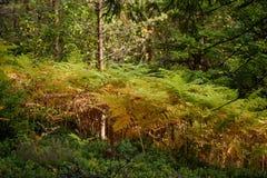 brennender roter Farn verlässt im trockenen sonnigen Herbst Lizenzfreies Stockfoto