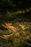brennender roter Farn verlässt im trockenen sonnigen Herbst Stockfotos