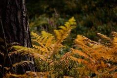 brennender roter Farn verlässt im trockenen sonnigen Herbst Stockbild