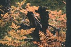 brennender roter Farn verlässt im trockenen sonnigen Herbst mit altem trockenem Holz - Lizenzfreie Stockbilder