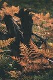 brennender roter Farn verlässt im trockenen sonnigen Herbst mit altem trockenem Holz - Stockbilder